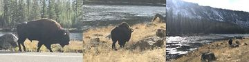 Day five: A bison story, told in triptych. Yellowstone National Park. Photo by Kirk Williamson